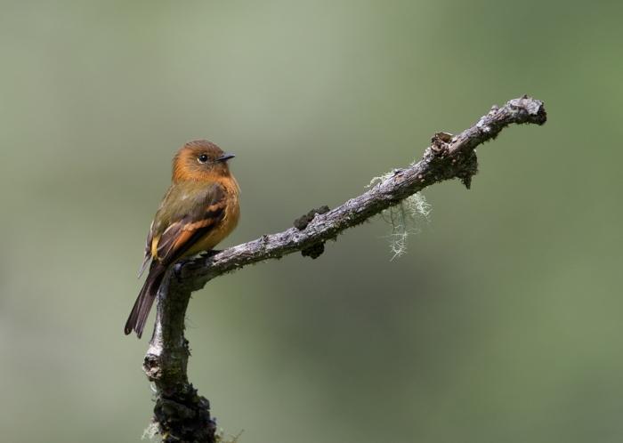 Cinnamon Flycatcher, Menu Road, Peru