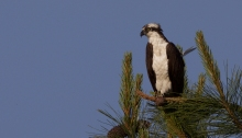 Osprey in Late Afternoon Light, Payette River, Idaho. f9, 1/640, ISO200; 500mm with 1.4 teleconverter.