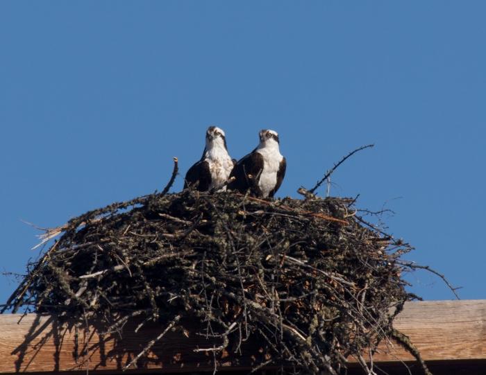 Osprey on Nest, 12 Mile Village, Alaska. f9, 1/640, ISO200; 300mm lens with 2.0 teleconverter.