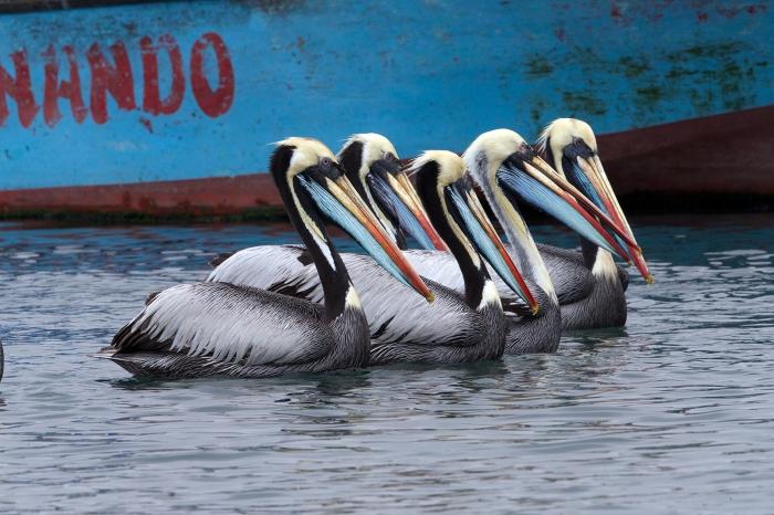 Peruvian Pelicans, Pucasana Harbor, Peru