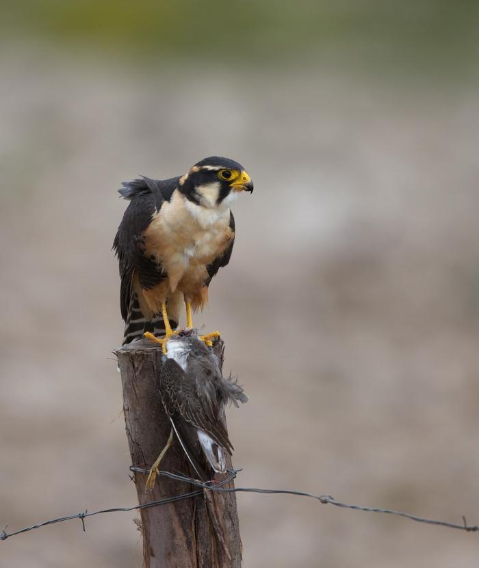 Aplomado Falcon with Prey, Laguna Huacarpay, Peru