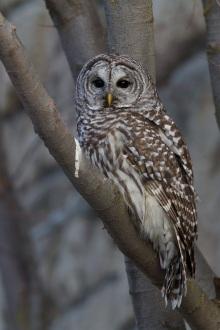 Barred Owl, Boise, Idaho