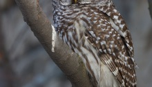 Barred Owl, Boise, Idaho