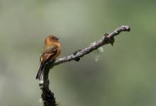 Cinnamon Flycatcher, Menu Rod, Peru