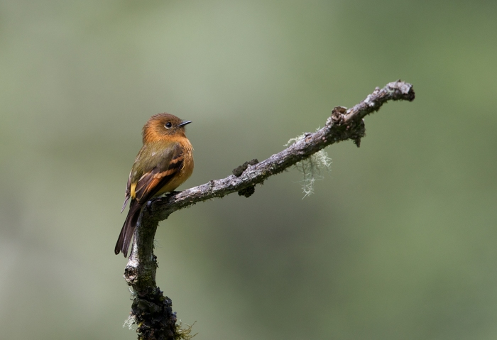 Cinnamon Flycatcher, Menu Rod, Peru