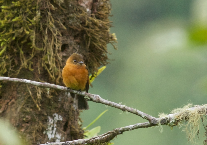 Cinnamon Flycatcher, about 3,000meters, West Slope Andes, Ecuador