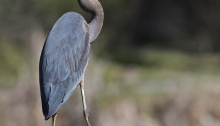 Great Blue Heron, Boise River, Idaho