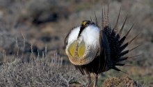 Male Greater Sage Grouse in full display, Snake River Plain, Idaho