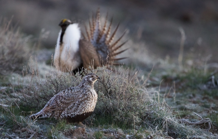 Female Greater Sage Grouse on lek