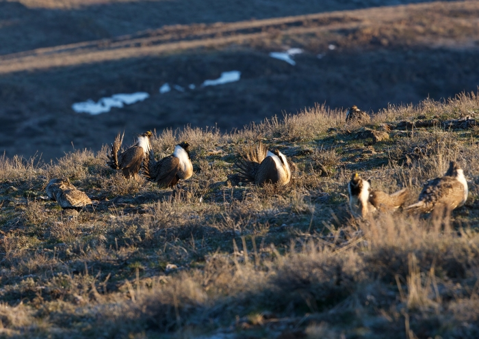 Male Greater Sage Grouse competing for attention of two hens to the left
