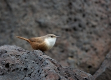 Canyon Wren, 1000 Springs, Idaho