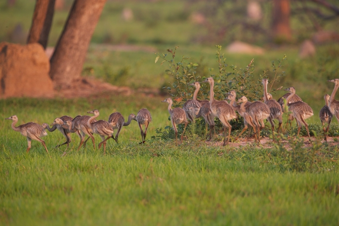Greater Rhea Chicks, Pantanal, Brazil