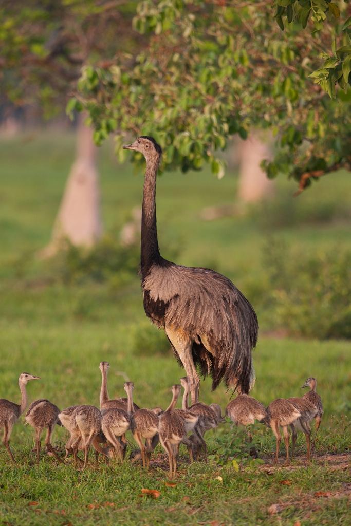 Greater Rhea Male with Chicks, Pantanal, Brazil