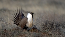 Greater Sage Grouse Displaying on Lek