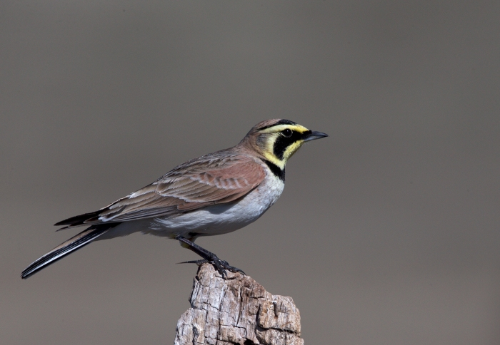 Horned Lark, South Crane Creek Road, Idaho
