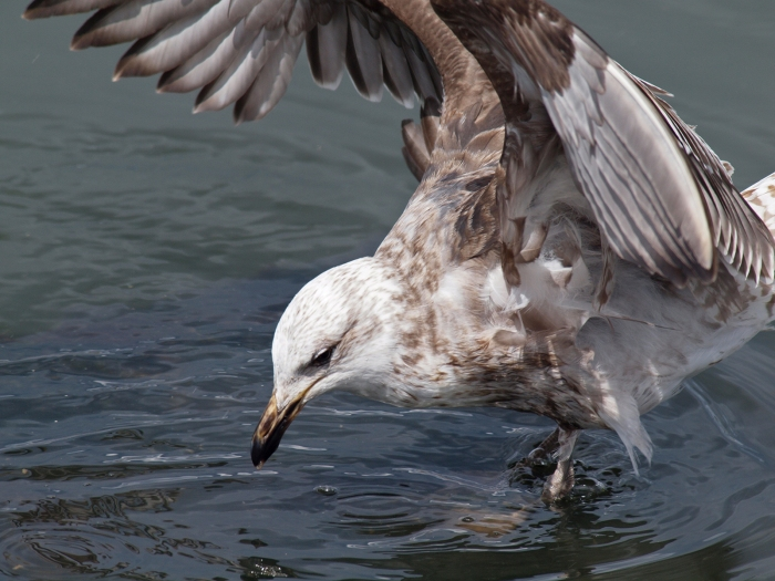 Second Year Kelp Gull, Tierra del Fuego National Park, Argentina
