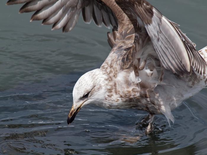 Second Year Kelp Gull, Tierra del Fuego National Park, Argentina