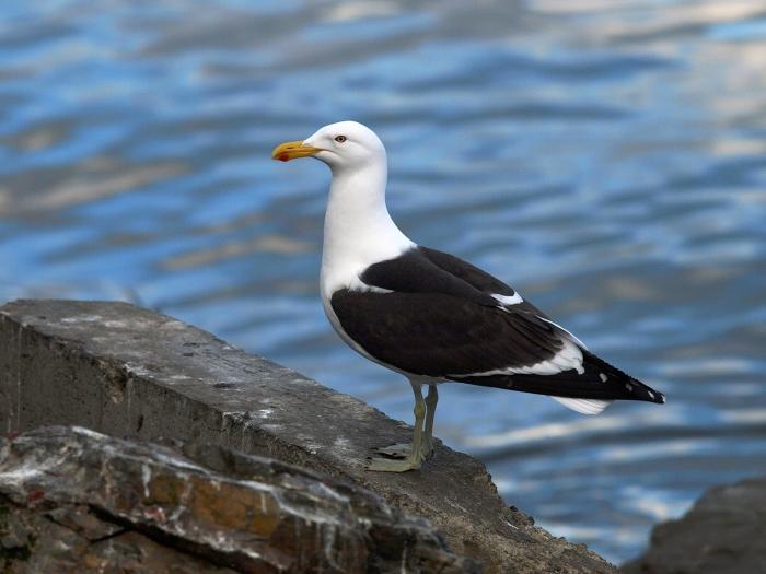 Kelp Gull, Ushaia, Tierra del Fuego, Argentina