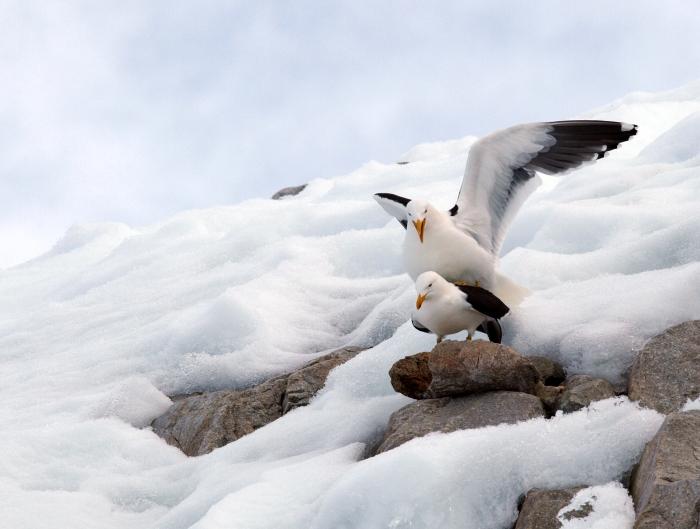 Kelp Gulls mating, Antarctic Peninsula