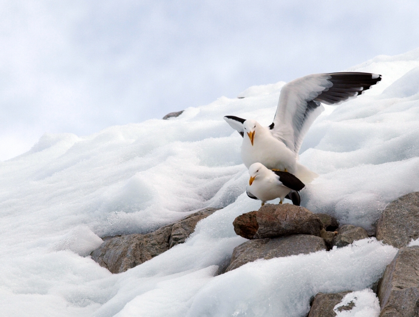 Kelp Gulls mating, Antarctic Peninsula