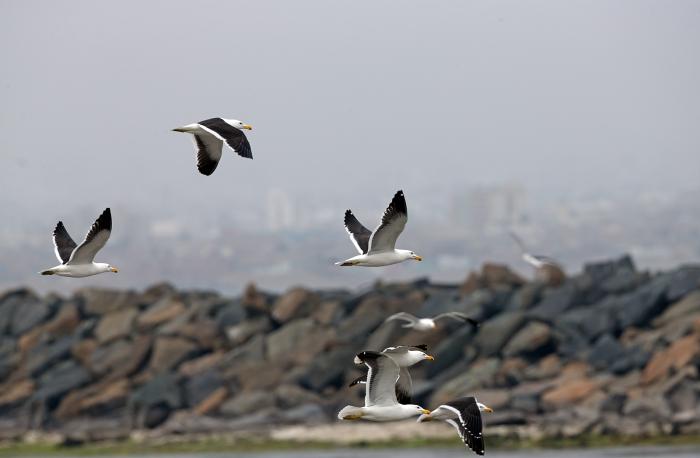 Adult Kelp Gulls, Lima, Peru