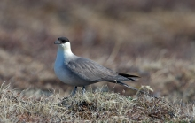 Long-tailed Jaeger, East Denali Highway, June 2013