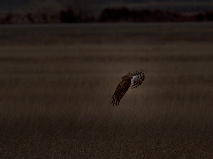 Northern Harrier Hunting Late, Market Lake, Idaho