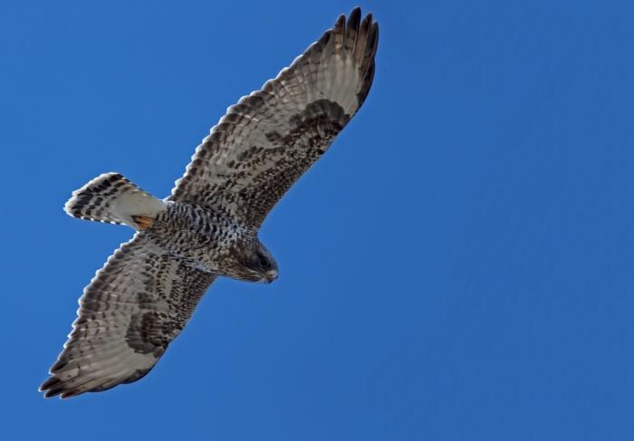 Northern Harrier, Camas Prairie, Gooding County, Idaho