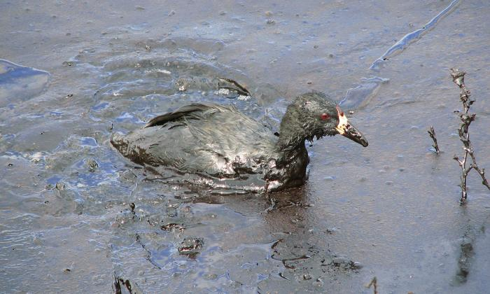 American Coot on an oil-covered evaporation pond at a commercial oilfield wastewater disposal facility in Wyoming. An estimated 500,000 to 1,000,000 migratory birds die each year in oilfield production skim pits and oil-covered evaporation ponds. Photo: Pedro Ramirez Jr./USFWS