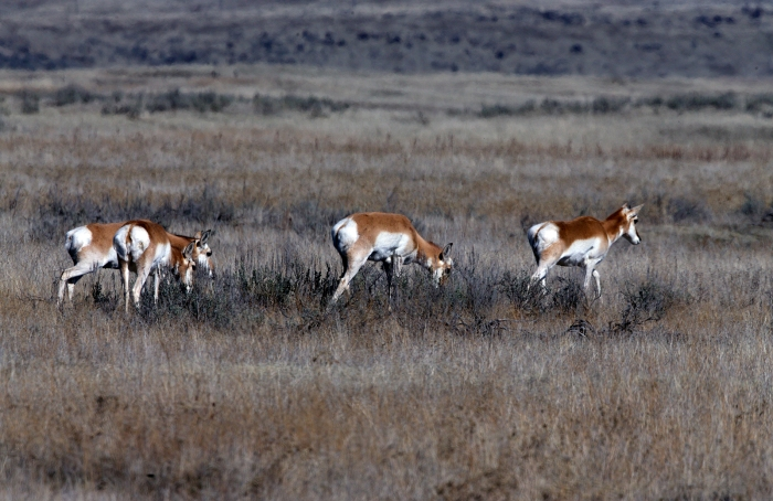 Pronghorn, South Crane Creek Road, Idaho