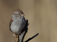 Rufous-winged Sparrow, SE ARizona