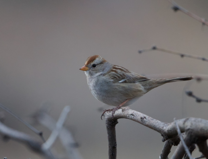 Rufous-winged Sparrow, pre-dawn light, SE Arizona