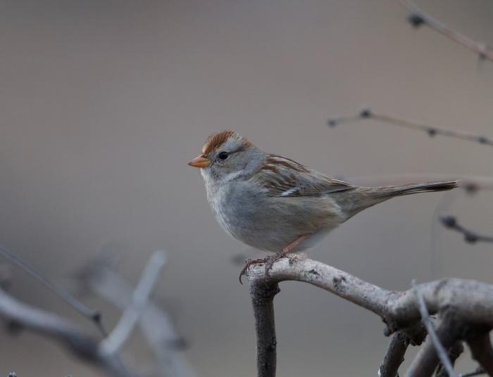 Rufous-winged Sparrow, pre-dawn light, SE Arizona
