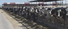 Southern Idaho Dairy, CAFO Operation, Twin Falls, Idaho