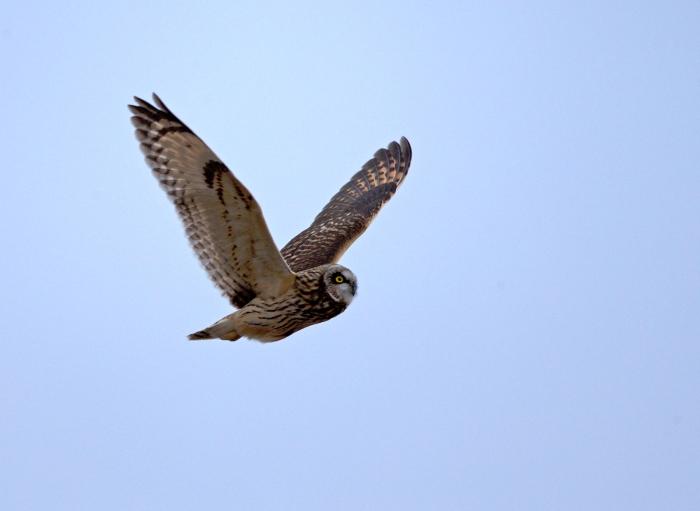 Short-eared Owl, Eastern Idaho