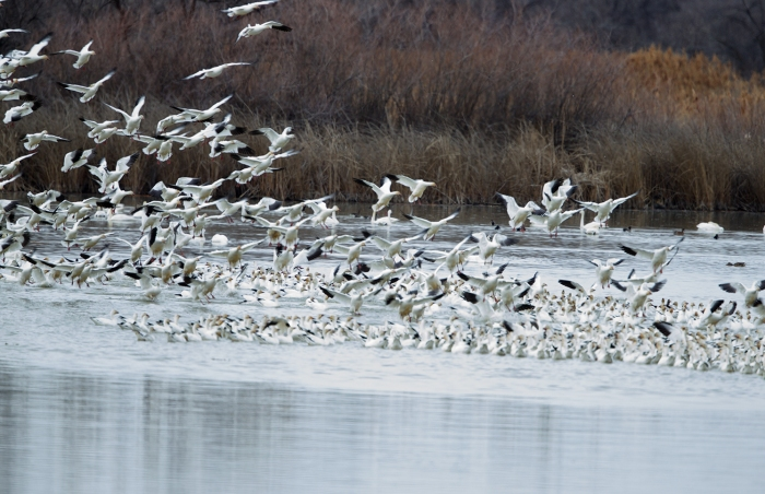 Snow Geese arriving at Roswell Marsh, Canyon County, idaho