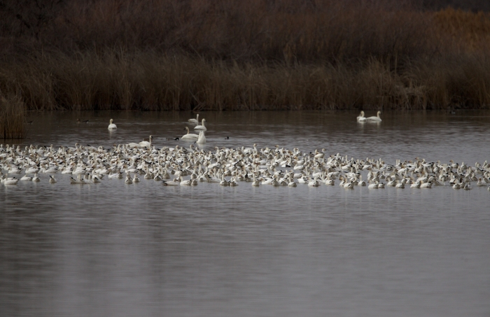 About a quarter of the Snow Geese at Roswell Marsh