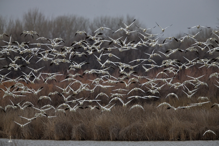The Snow Geese confuse an overhead White Pelican with a raptor
