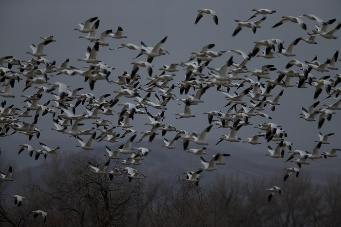 The Snow Geese flock decides to move somewhere else