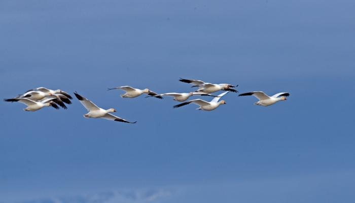 Snow Geese in Flight, Mud Lake, Idaho