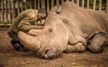 A wildlife ranger comforts Sudan, the last male northern white rhino on the planet moments before he passed away. Credit: Ami Vitale National Geographic Creative