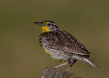 Western Meadowlark, Farm to Market Road, McCall, Idaho
