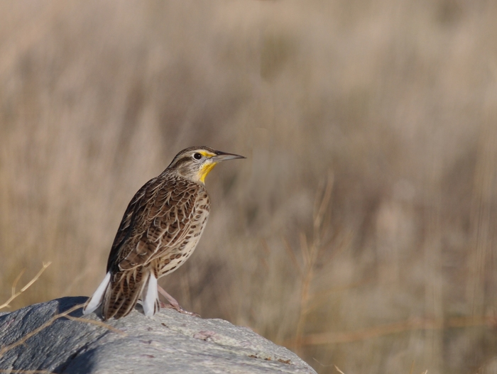 Western Meadowlark, Antelope Island, Utah