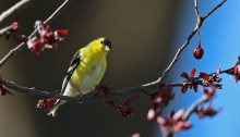 American Goldfinch Male, Malheur NWR