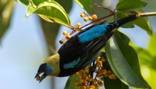 Golden-hooded Tanager, La Selva, Costa Rica