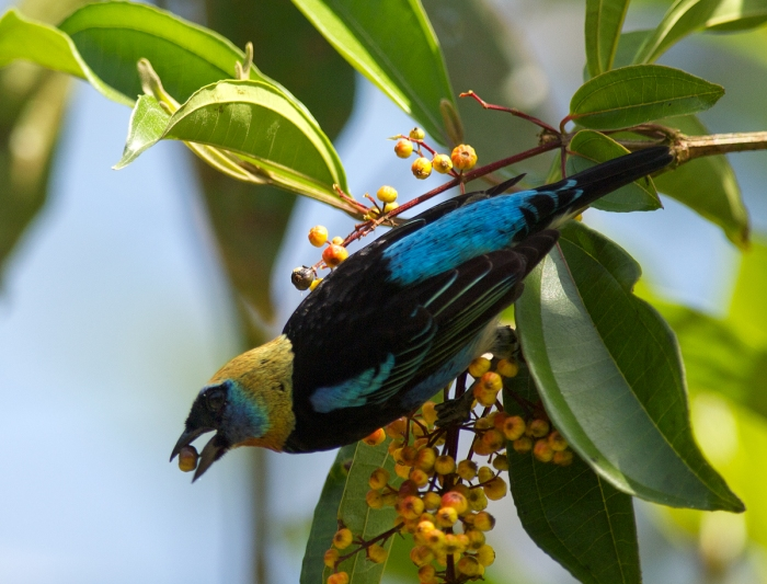 Golden-hooded Tanager, La Selva, Costa Rica