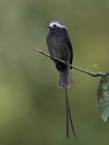 Long-tailed Tyrant, Costa Rica
