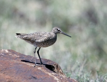Willet, Camas Prairie, Idaho