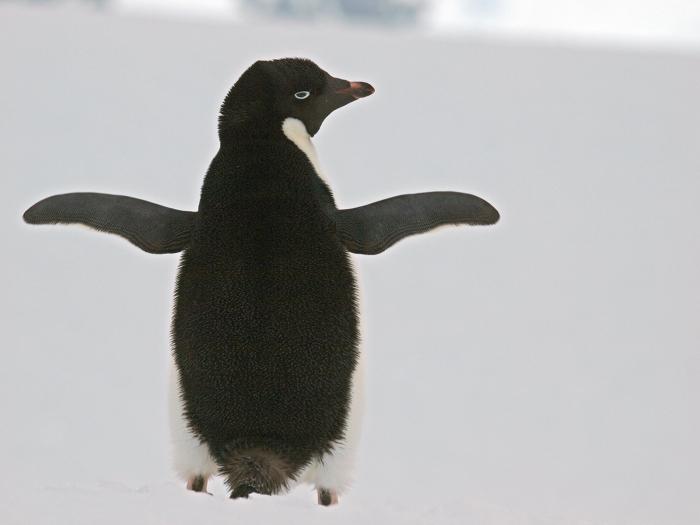 Adélie Penguin, Yalour Islands, Antarctic Peninsula