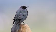 Brewer's Blackbird male, New Meadows, Idaho